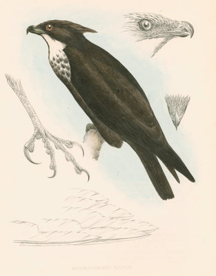 Machaerhamphus alcinus by unknown - print