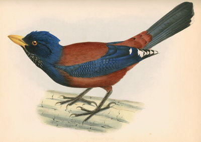 Garrulus lidthii by unknown - print