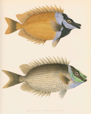Studies of two fishes by unknown - print