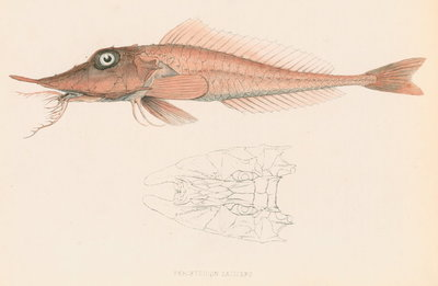 Peristedion laticeps by unknown - print