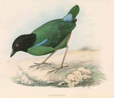 Pitta melanocephala by unknown - print