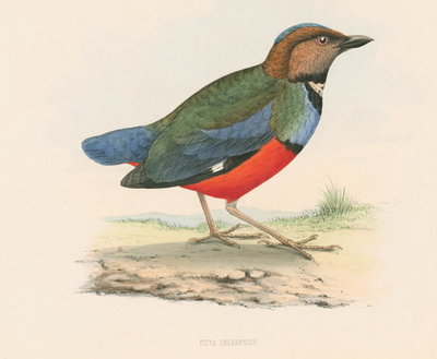 Pitta celebensis by unknown - print