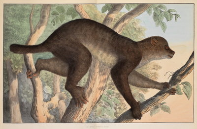 Stenops potto by unknown - print
