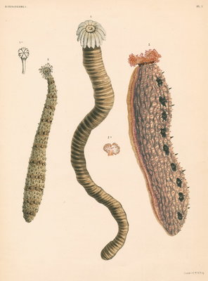 Sea cucumbers by unknown - print