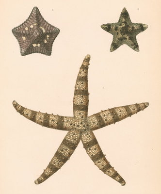 Sea stars by unknown - print