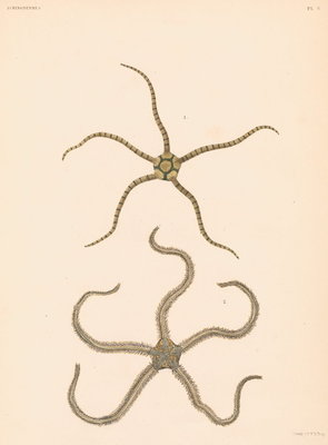 Brittle stars by unknown - print