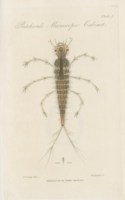 Larva of Dytiscus by William Kelsall - print