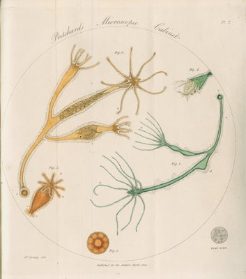 Freshwater hydra by William Kelsall - print
