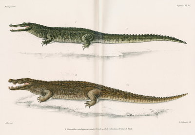 Madagascan crocodiles by Louis Léchaudel - print