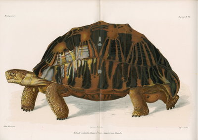 Radiated tortoise by André Revillon d'Apreval - print