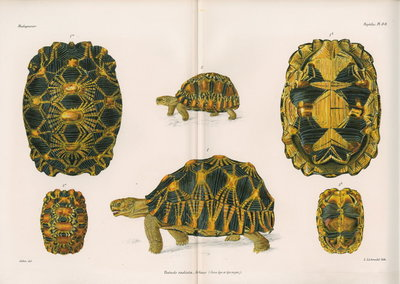 Radiated tortoise by Louis Léchaudel - print