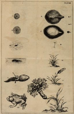 Life cycle of a frog and a plant by Jan Swammerdam - print