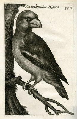 Hawfinch by unknown - print