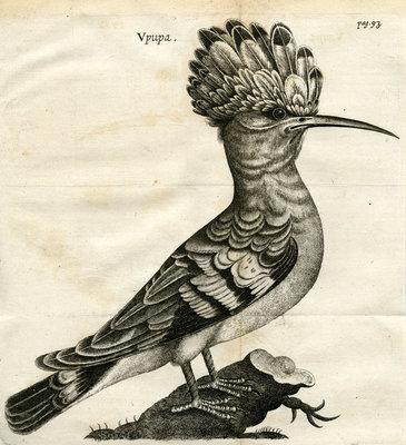 Hoopoe by unknown - print