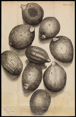Microscopic view of thyme seeds by Robert Hooke - print