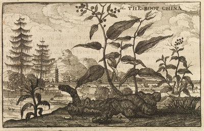 'The Root China' by Wenceslaus Hollar - print