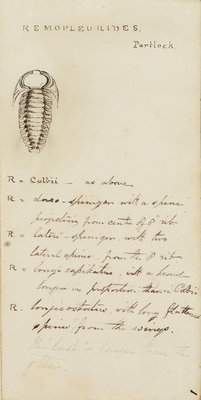 Remopleurides, genus of trilobite by Henry James - print
