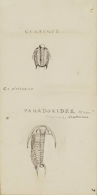 Ceraures and Paradoxides, genera of trilobite by Henry James - print