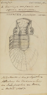 Brontes flabellifer, species of trilobite by Henry James - print