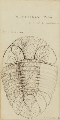 Nuattainia and Lichas, species of trilobite by Henry James - print