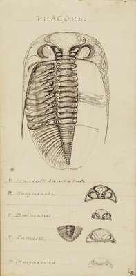 Phacops, genus of trilobite by Henry James - print