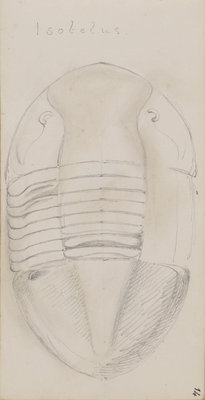 Isotelus, genus of trilobite by Henry James - print