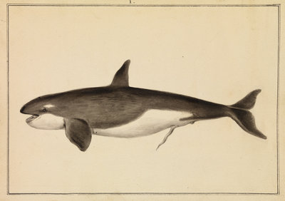 Grampus [Killer whale] by William Bell - print