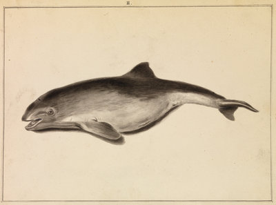 Grampus [False Killer whale?] by William Bell - print
