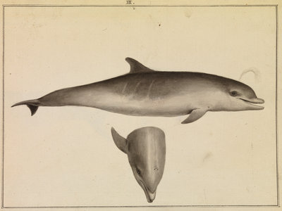 Bottlenose dolphin by William Bell - print