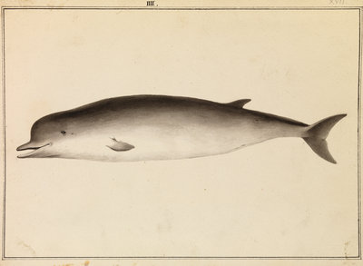 Bottlenose whale by William Bell - print
