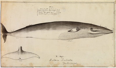 'Balaena Rostrata, Fabricus [Minke whale?]' by William Bell - print