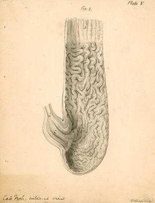 'Cod fish internal view' by William Clift - print