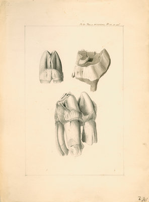 Fossil hippopotamus grinding teeth by Anonymous - print