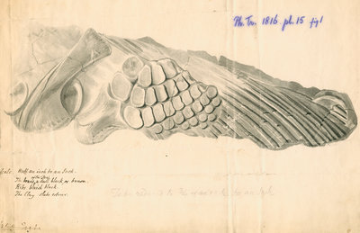 Fossilised Ichthyosaur paddle and scapula by William Clift - print