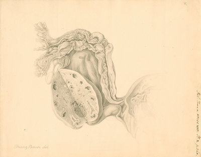 Human ovary by Franz Andreas Bauer - print
