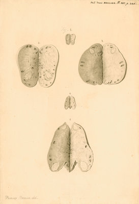 Ovaries of a kangaroo by Franz Andreas Bauer - print