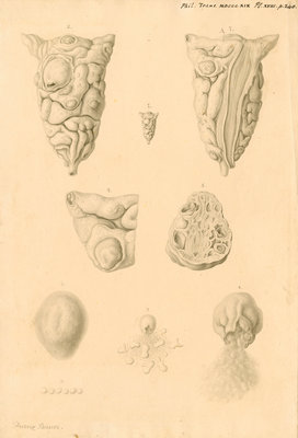 Ovaries of Ornithorhynchus paradoxicus [Platypus] by Franz Andreas Bauer - print