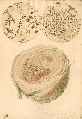 Coagulated human blood and crystals by Franz Andreas Bauer - print