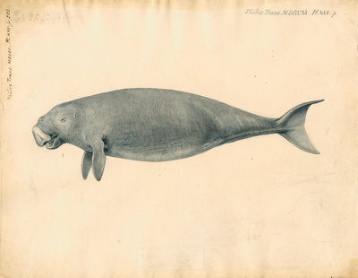 Sumatra dugong by William Clift - print