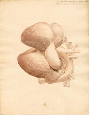 Dugong heart by William Clift - print