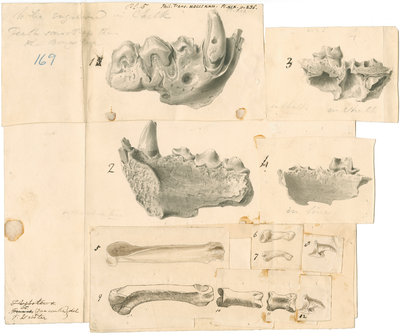 Fossil hyaena jaws and other bones by Thomas Webster - print