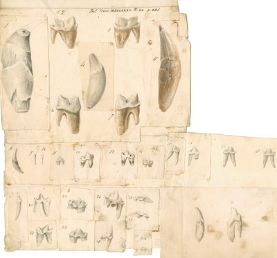 Fossil teeth of hyaena, bear, tiger, fox, wolf and weasel by Thomas Webster - print