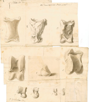 Fossil bones of horse, ox, hyaena, fox, water-rat, and rabbit with hyaena coprolite by Thomas Webster - print