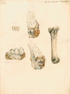 Fossil teeth and bones of boar by H O'Neil - print