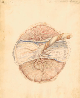 Human placenta by William Clift - print