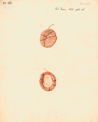 Rabbit placenta by William Clift - print