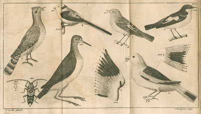 Birds and a beetle from Linnaeus's 'Swedish Fauna' by C Bergquist - print