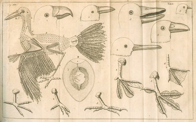 Comparative study of birds beaks and feet from Linnaeus's 'Academic delights' by Anonymous - print