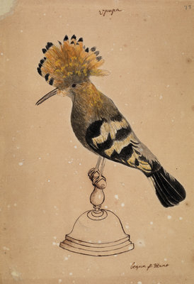 Hoopoe bird by Henry Hunt - print