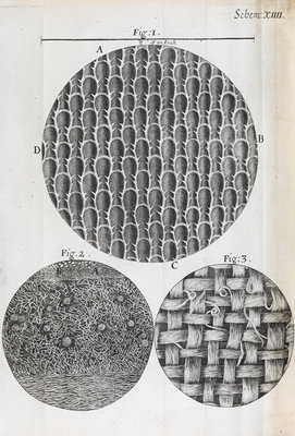 Microscopic views seaweed and rosemary leaf by Robert Hooke - print